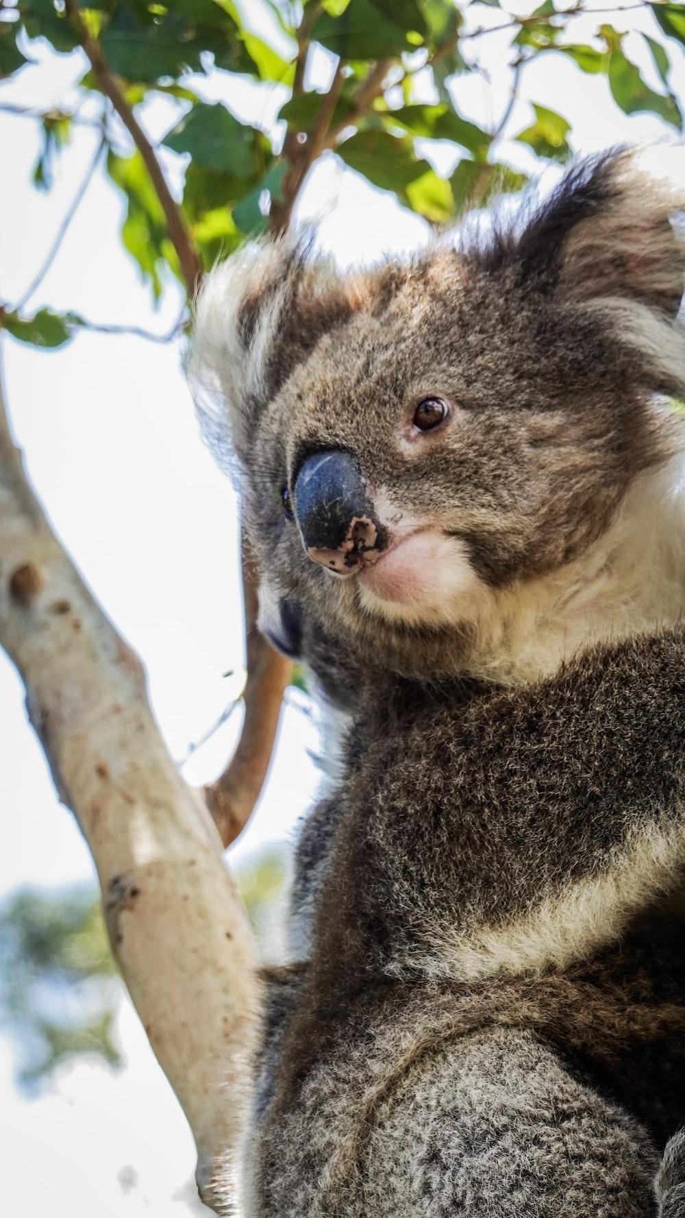 gray koala bear on tree