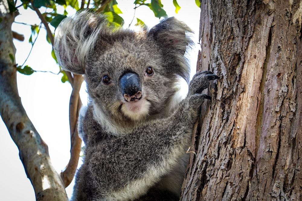 selective focus photography of koala bear