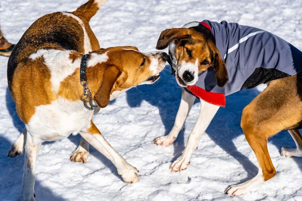 tri-color beagle beside dog wearing blue and black shirt standing on snow covered field