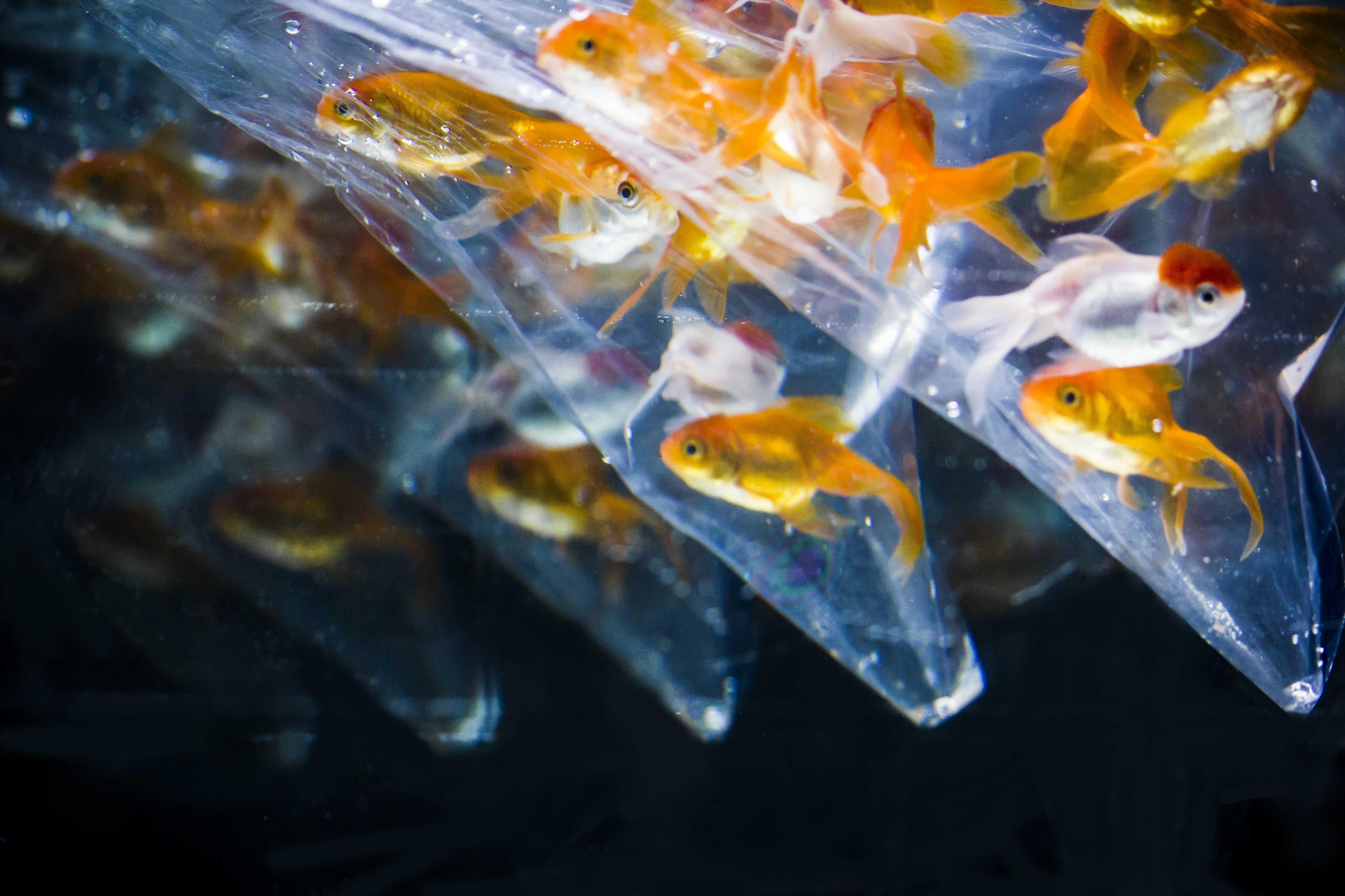 school of goldfish inside clear plastic bags