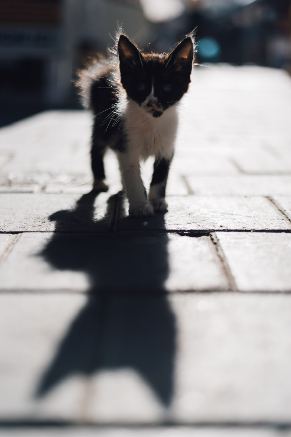 black and white bicolor kitten on pavement