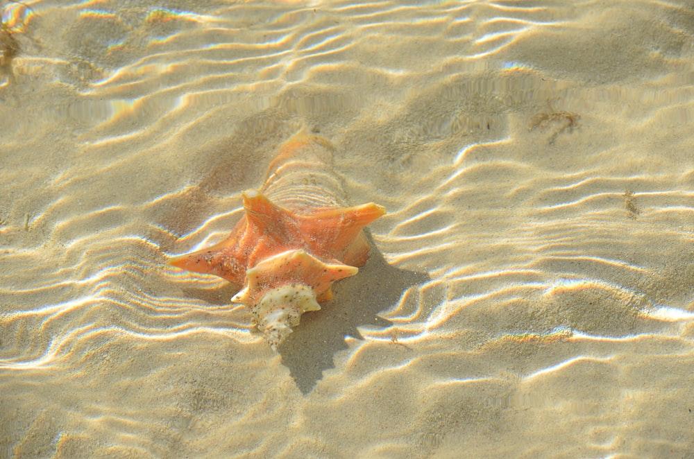 orange conch shell underwater