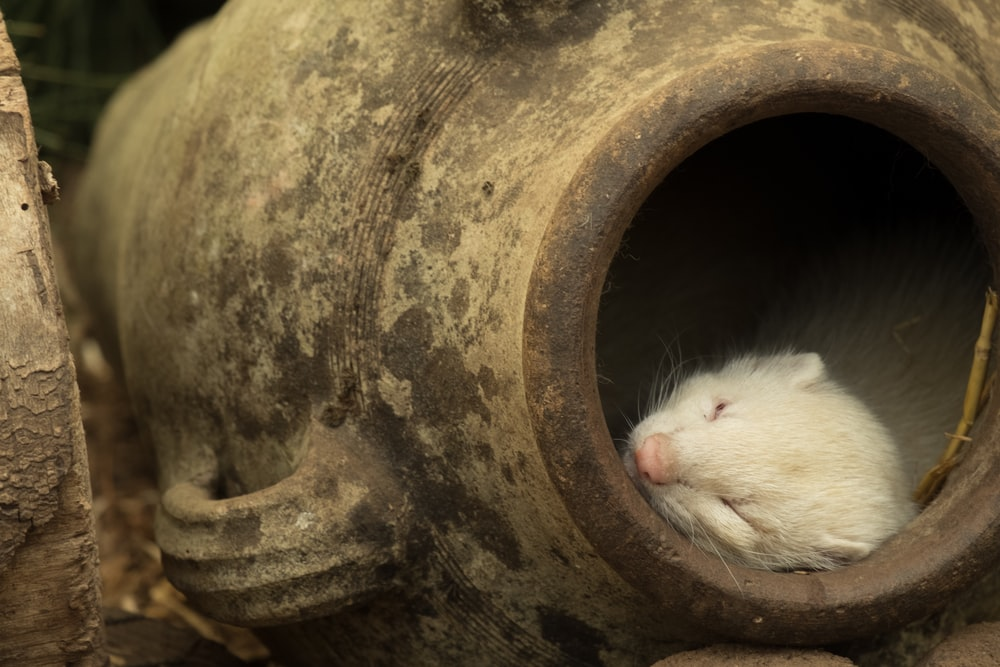 white rodent sleeping on brown milk churn