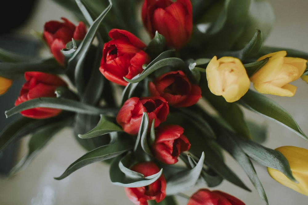 red and yellow tulips closeup photography