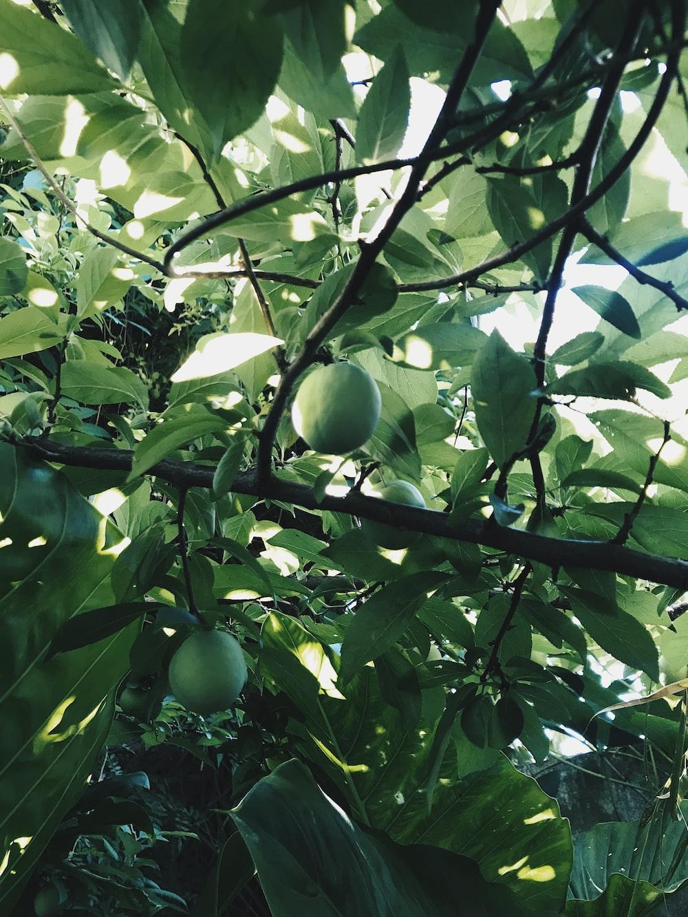 round green fruit bearing tree