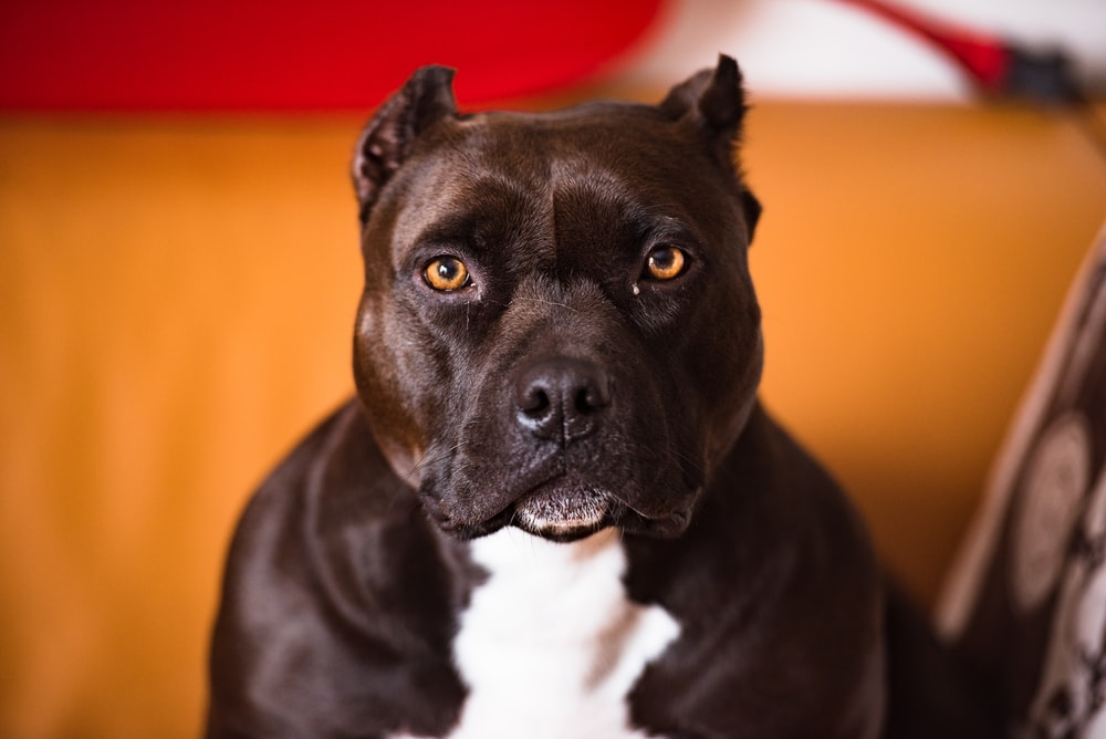 selective focus photography of brown and white American pit bull terrier