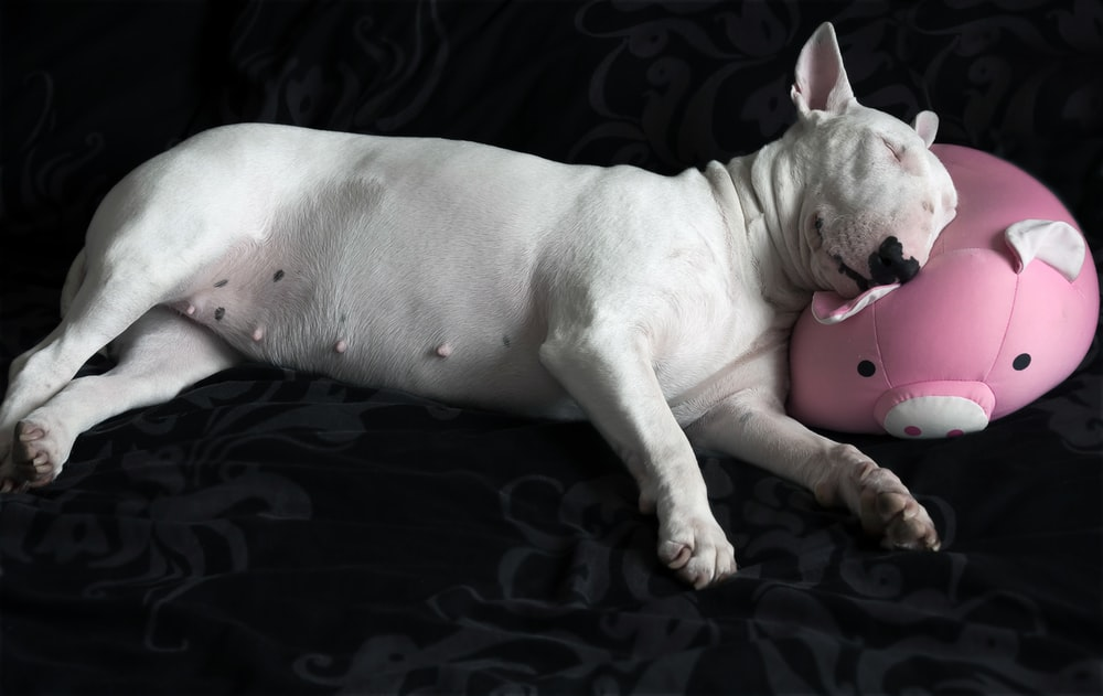 adult white bull terrier laying on bd