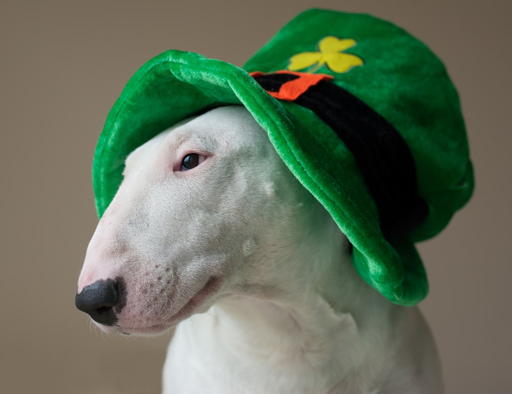 white bull terrier wearing green hat