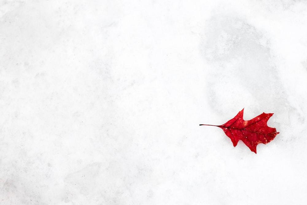 red oak leaf on snow