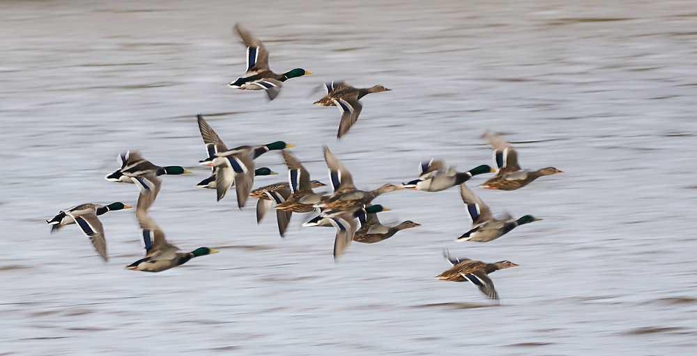 flock of duck flying during daytime