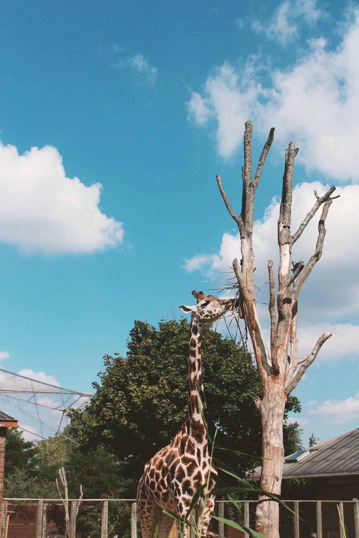 giraffe eating on brown tree