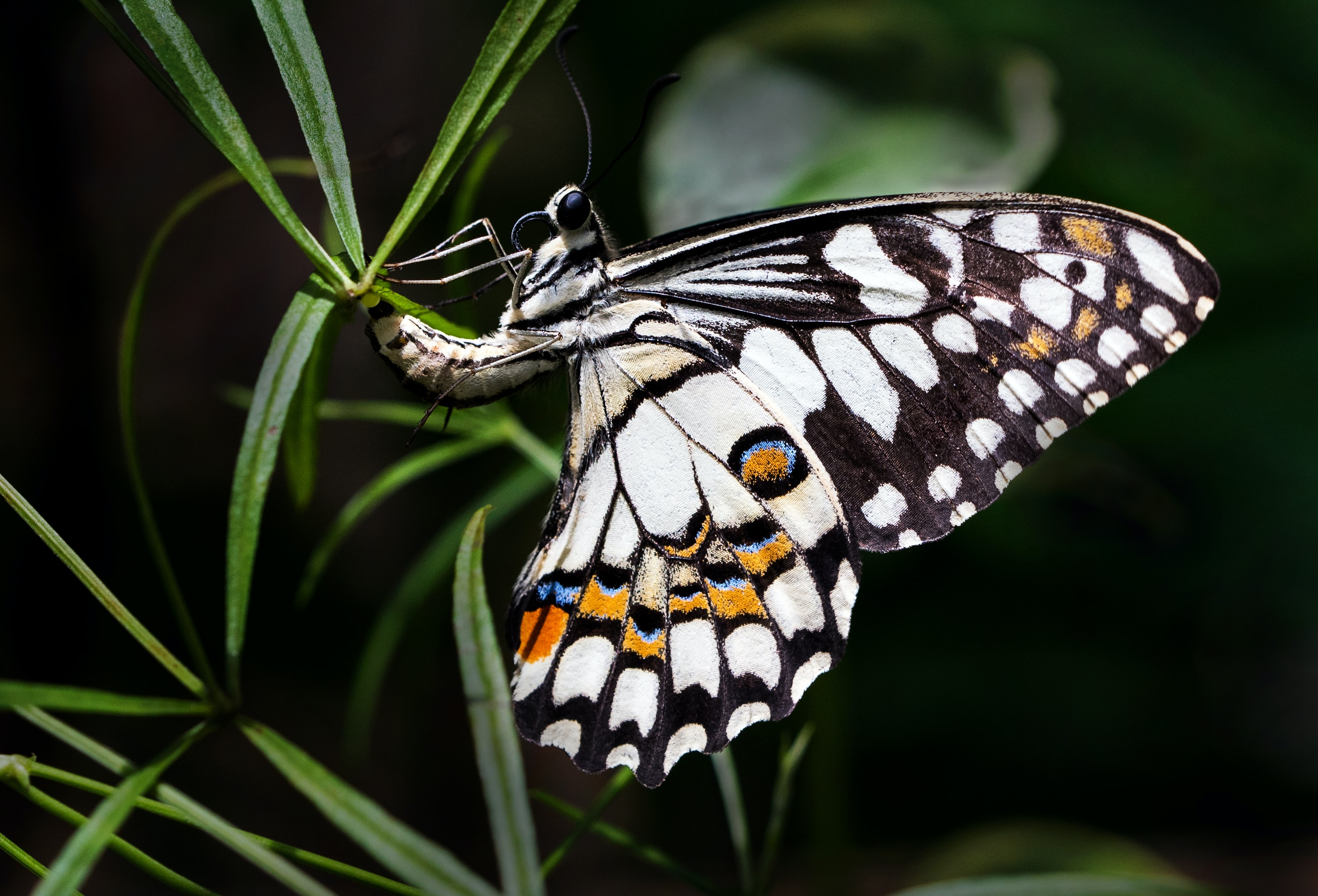 white and brown butterfly