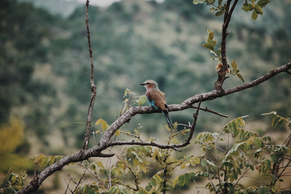 brown and blue bird perched on tree branch