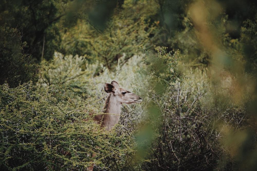 brown doe in grass field