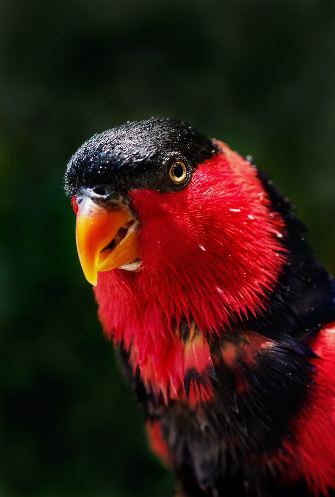 This parrot has just enjoyed a cooling bath on a hot day. Black-capped Lory, found naturally in the rain forests of New Guinea.