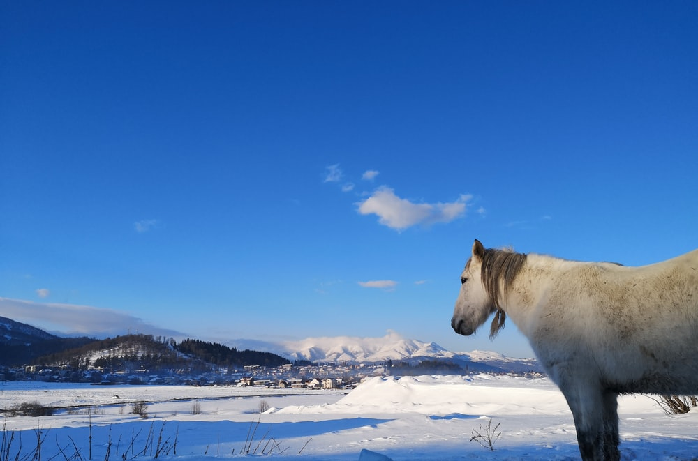 white horse standing on snow covered ground