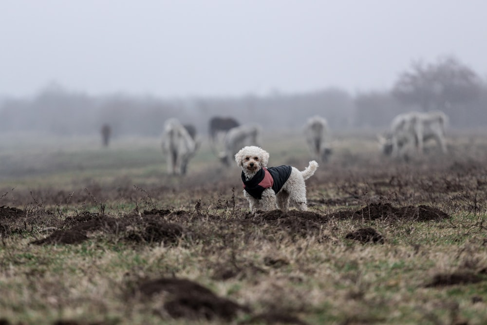 selective focus photography of white dog with black costume standing on green fields