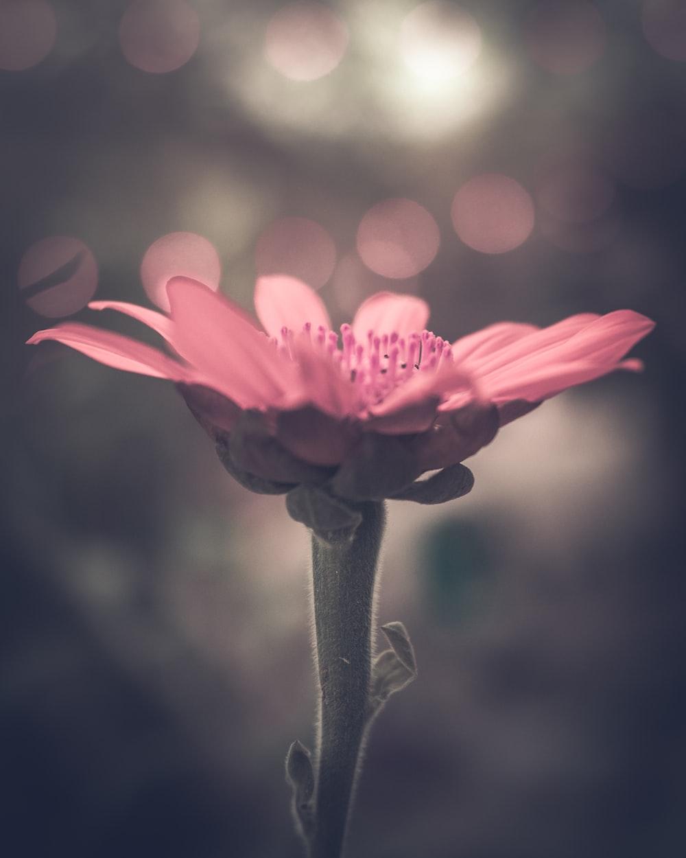 pink petaled flower under bokeh lights