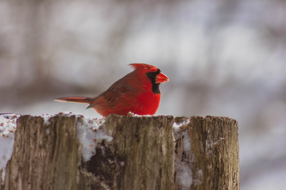 red cardinal bird on tree stump