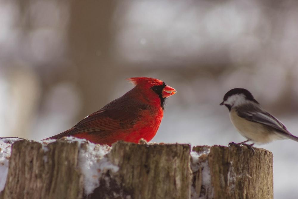 red cardinal bird and gray bird