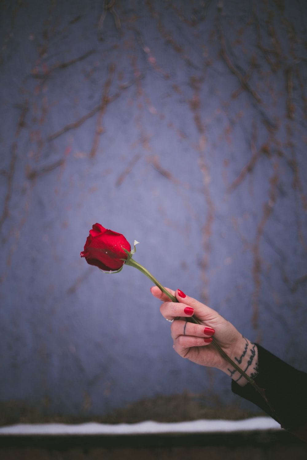 person holding red rose