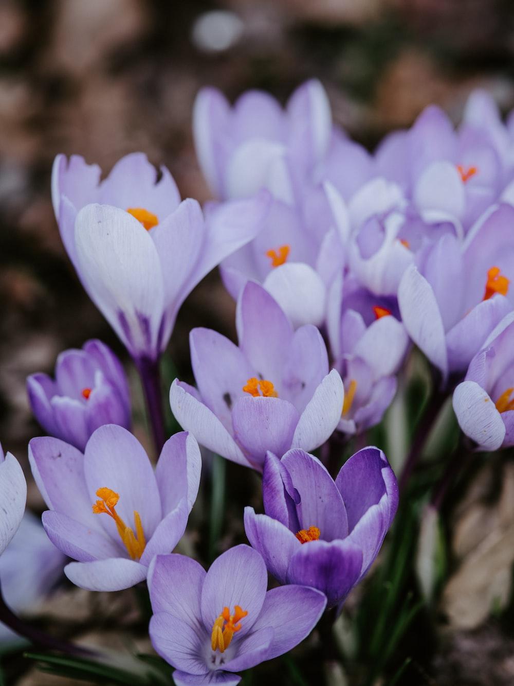 purple petaled flowers in bloom