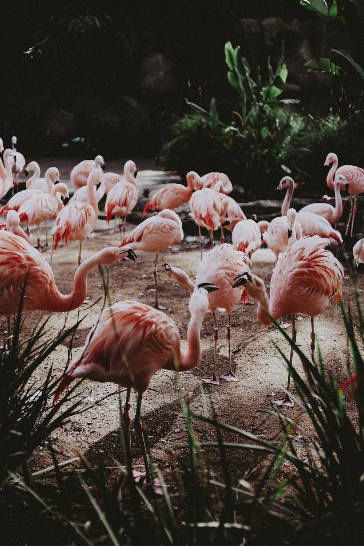 flock of pink flamingo