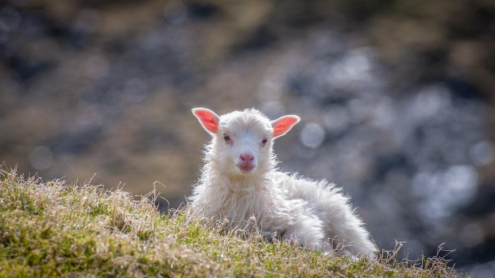 white sheep sitting on grass