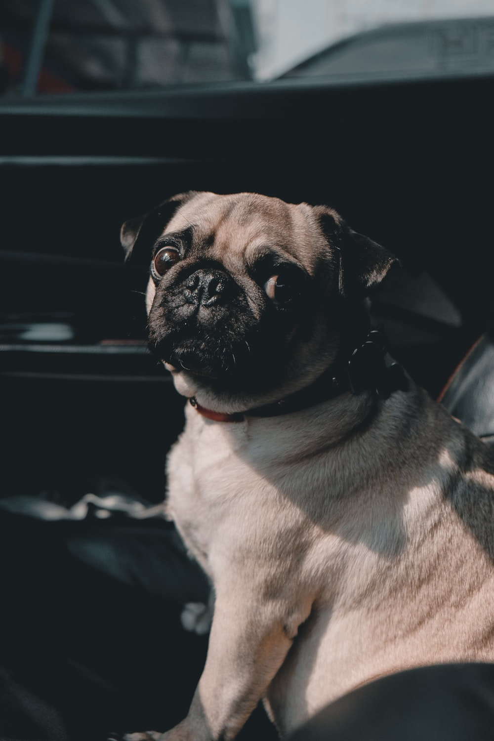selective focus photography of adult fawn pug sitting inside vehicle