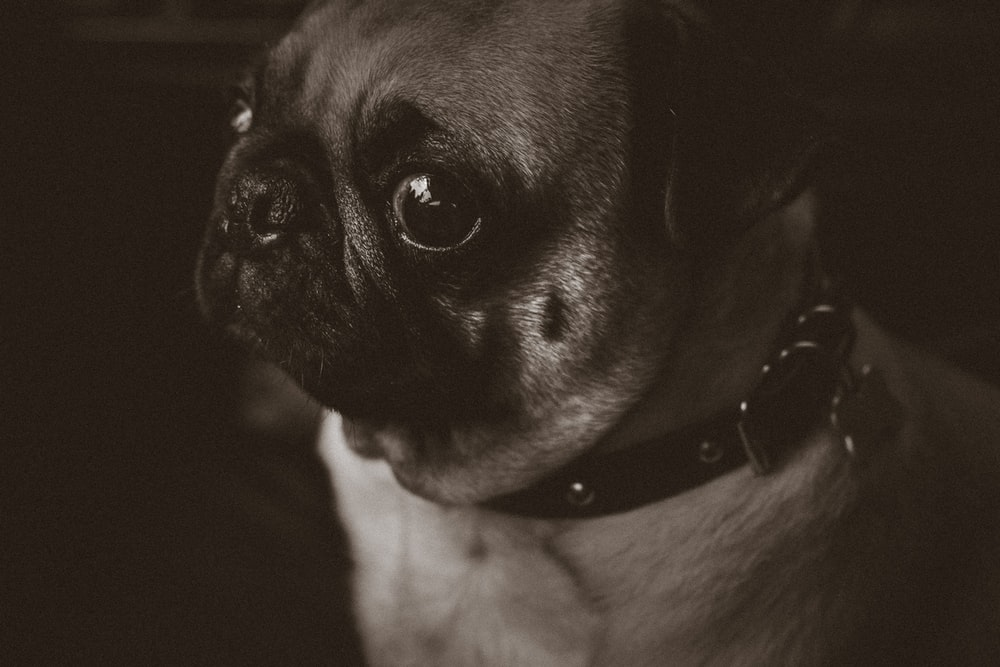 gray scale photo of fawn pug