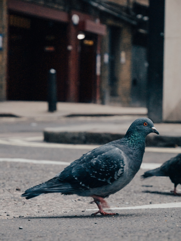 rock dove on street