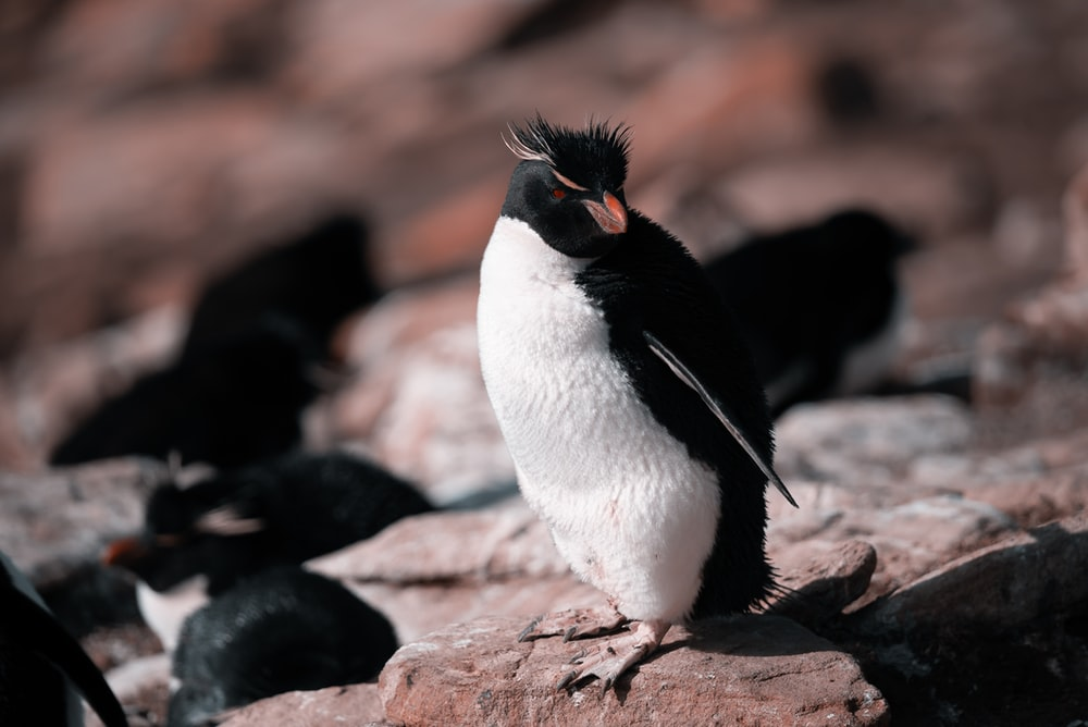 white and black penguin