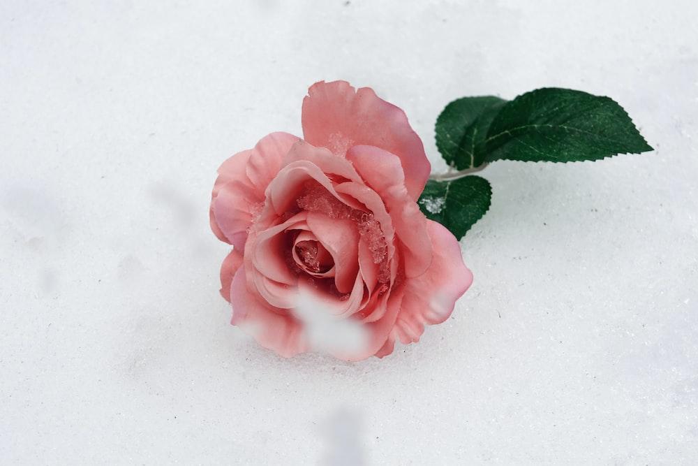 pink-petaled flower