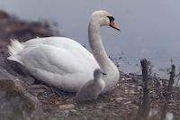white goose near lake