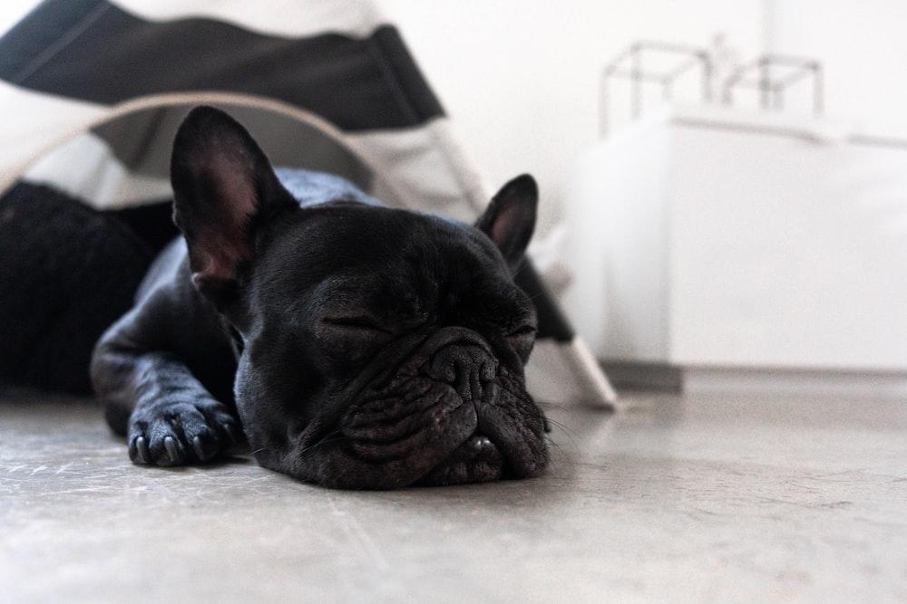 sleeping black Boston terrier