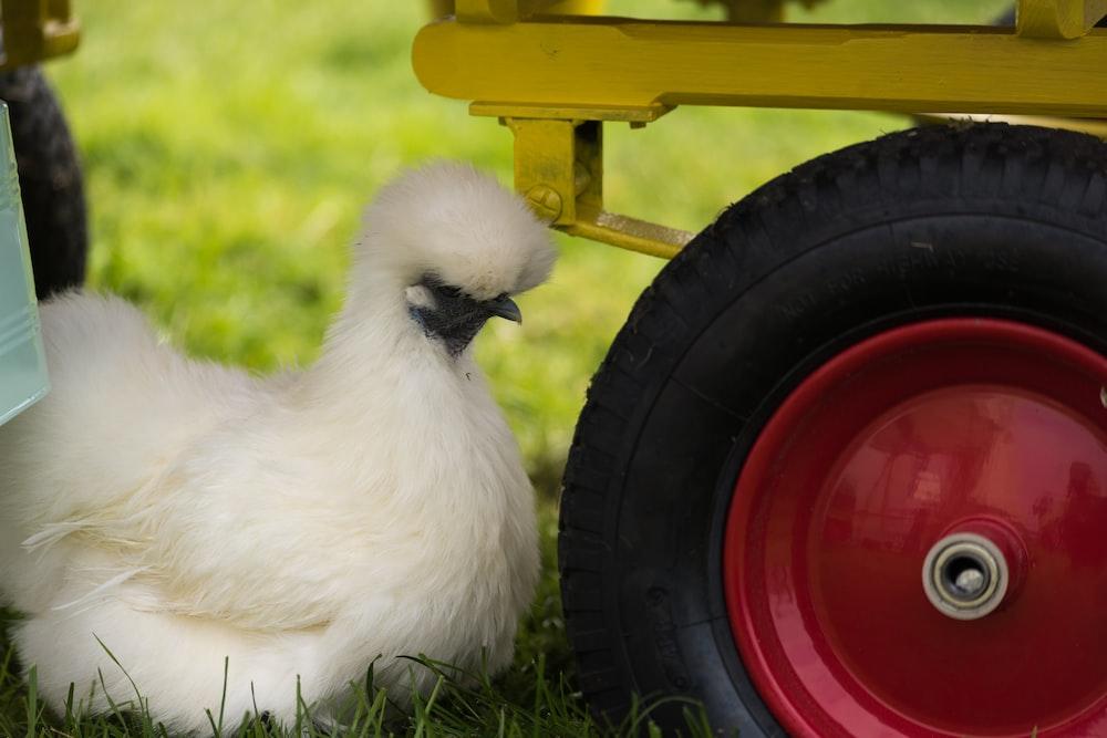 white chicken beside tire