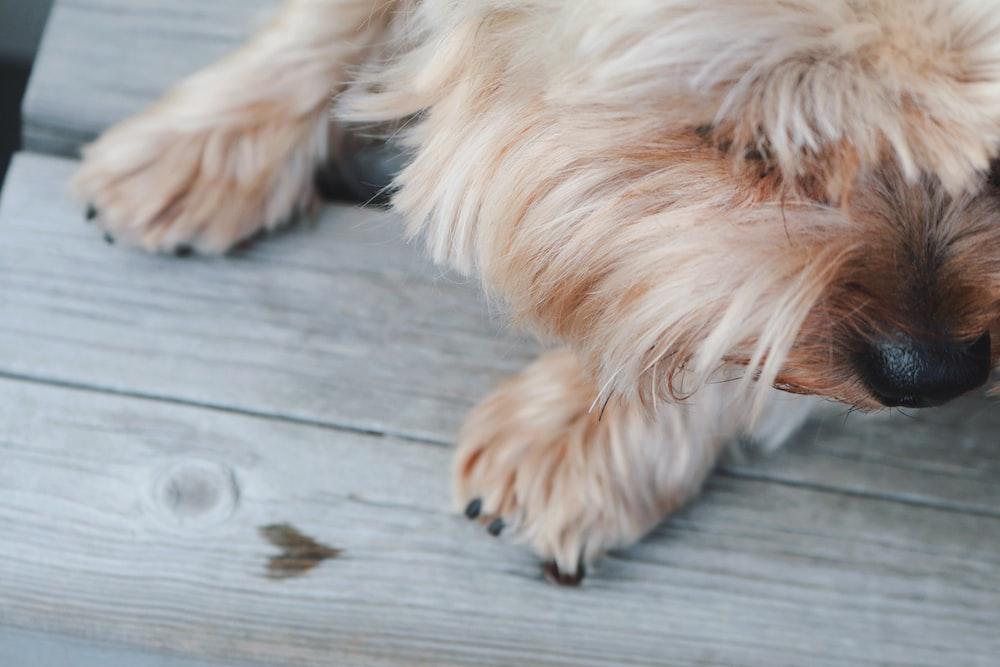 long-coated tan dog