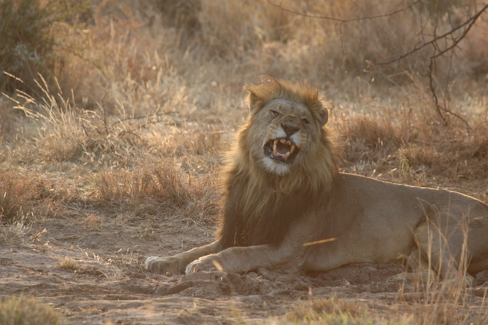male lion sitting on ground during daytime