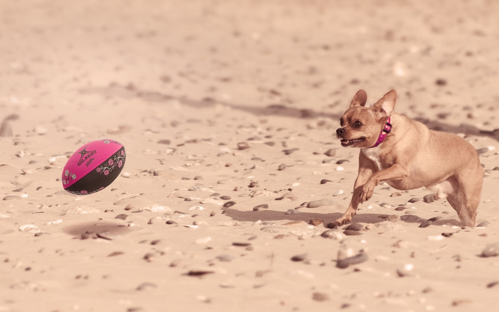 selective focus photography of dog looking to football ball