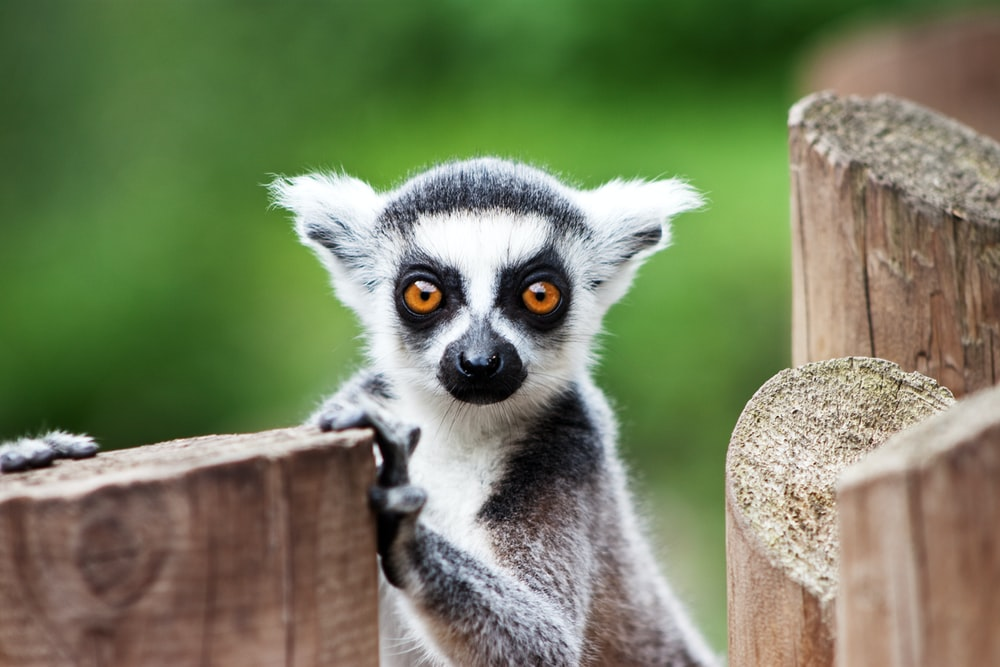 lemur on brown wooden fence