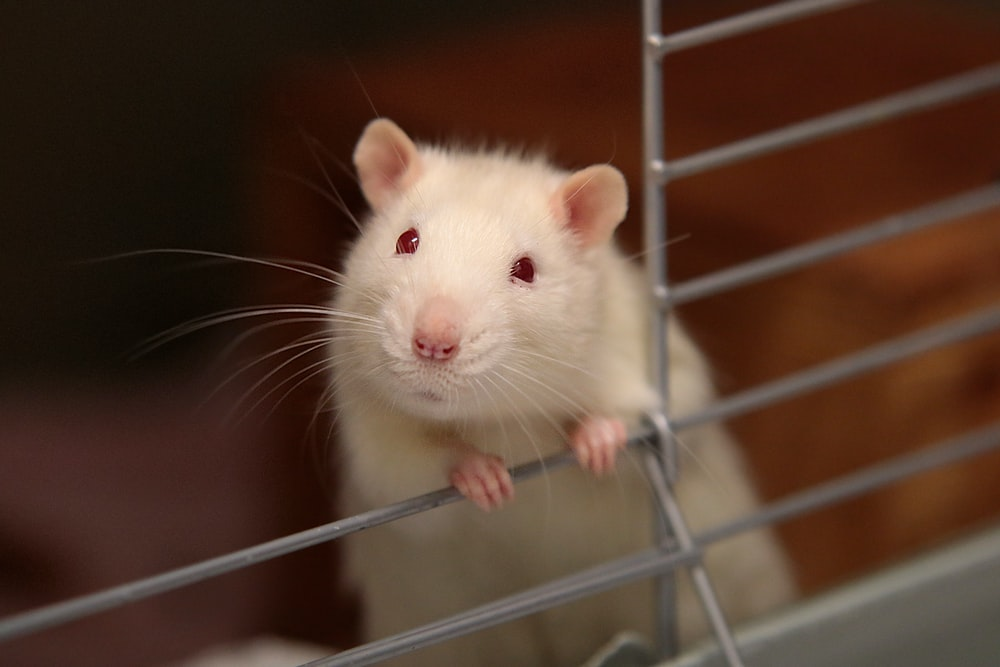 white mouse in cage
