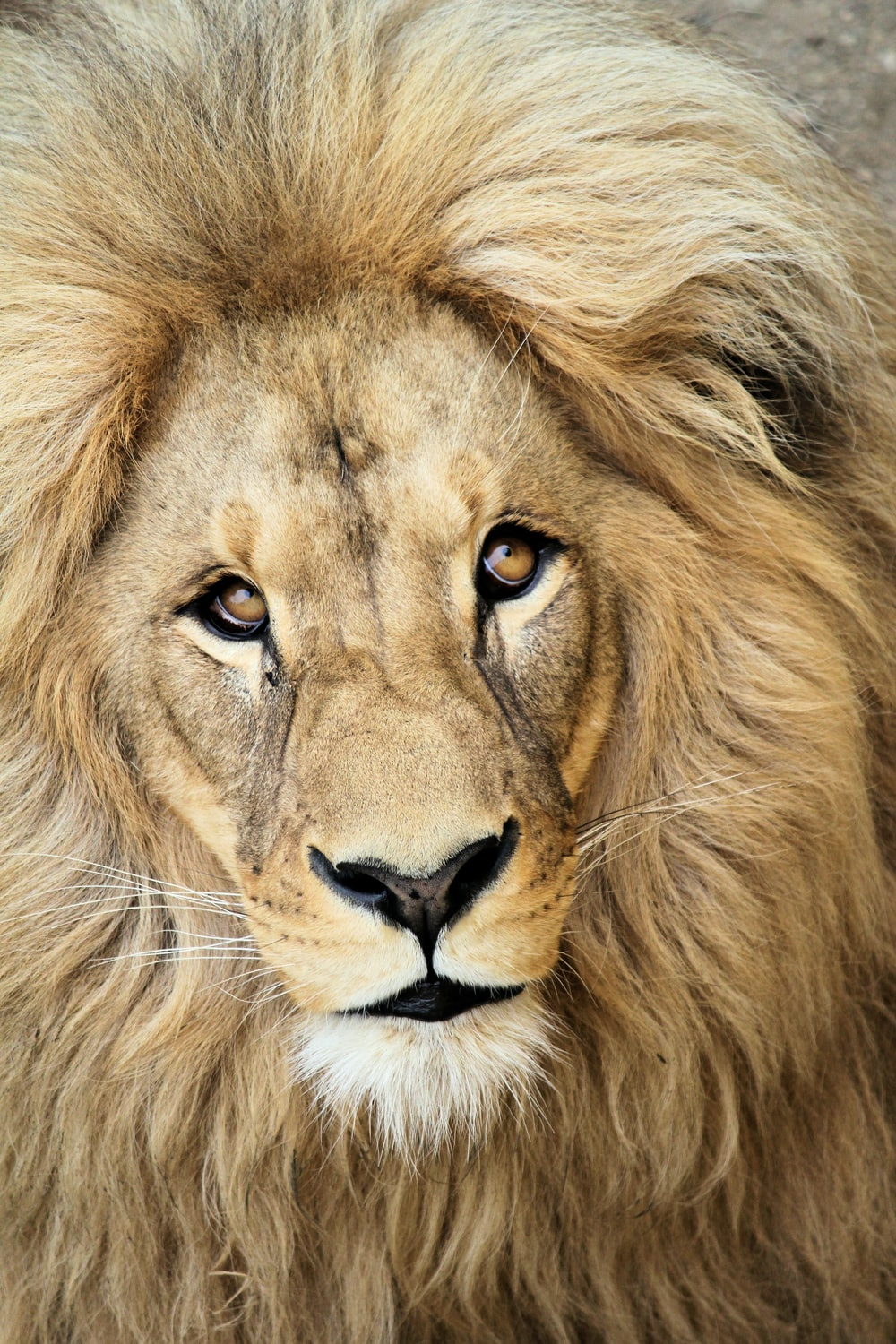 close up photography of lion