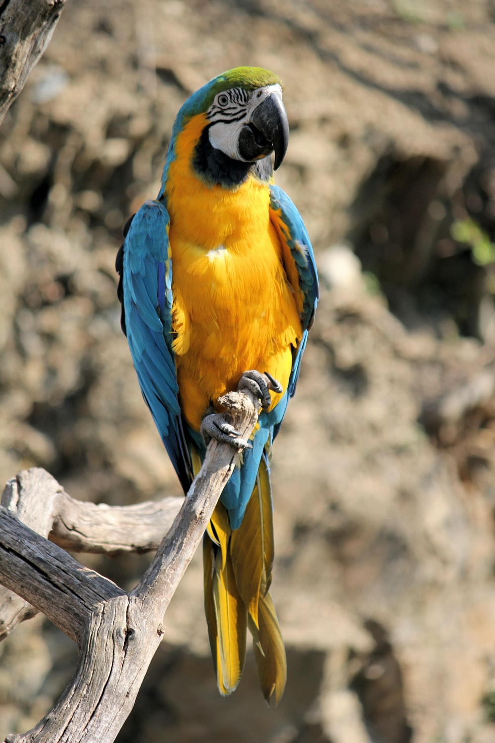 blue-and-yellow parrot perched on tree during daytime