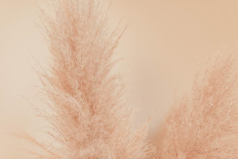 two white dandelions