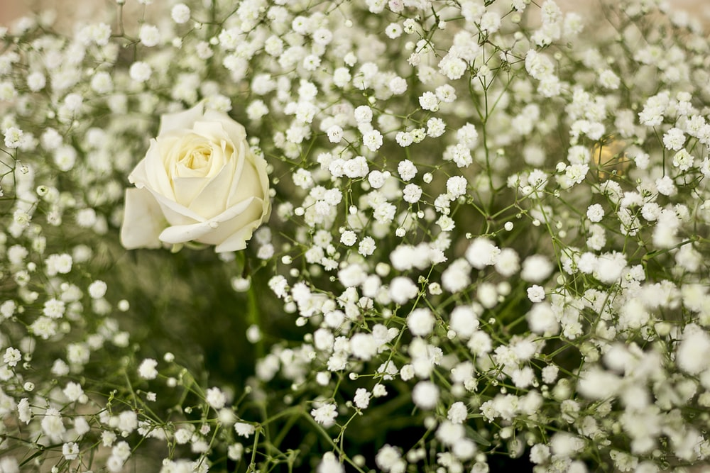 white rose macro photography