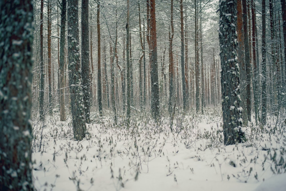 snow covered leafless trees and ground