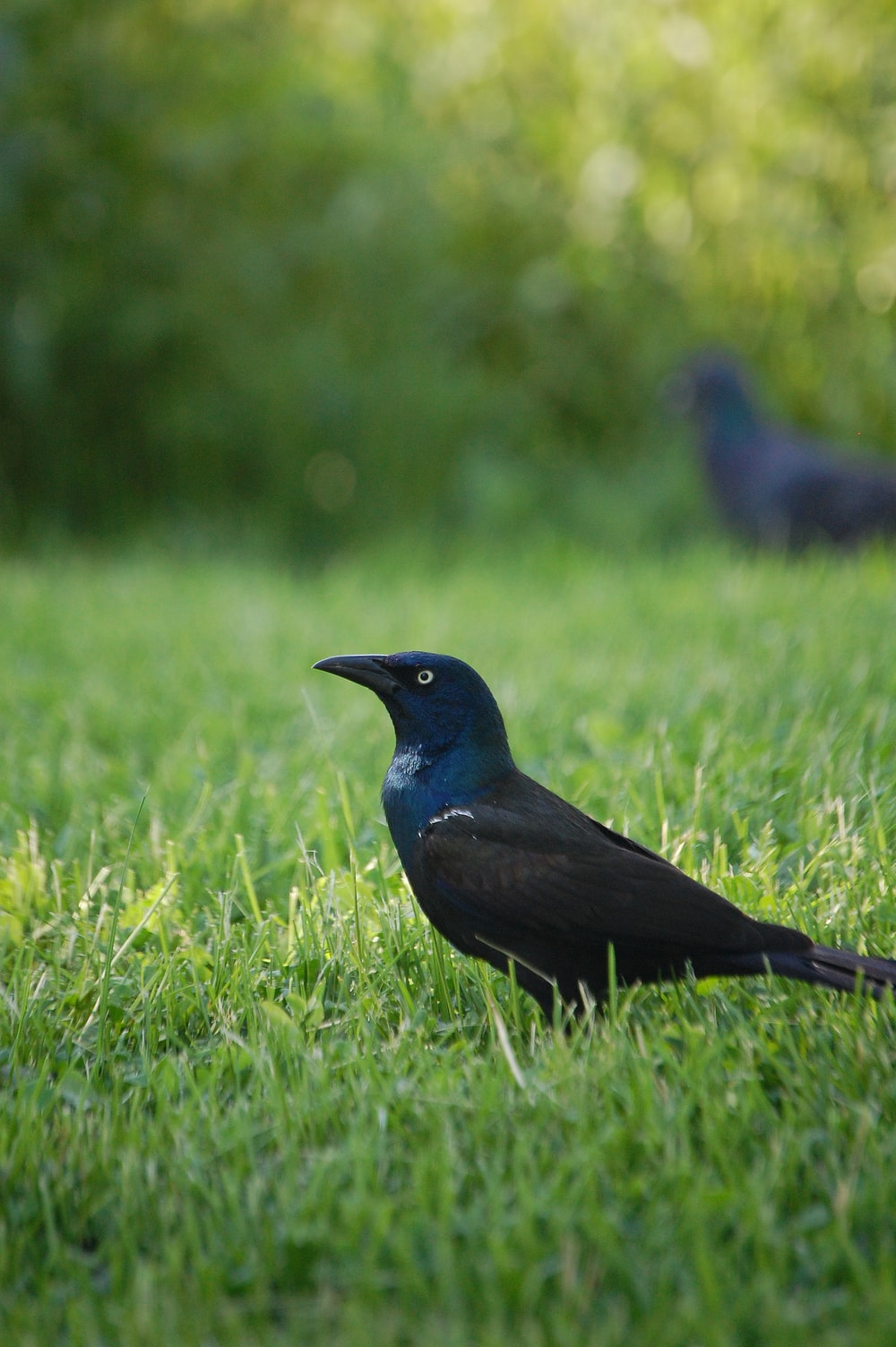 black bird on green grass