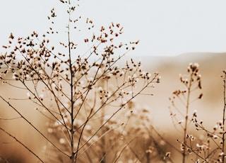 cotton plant on sephia photo