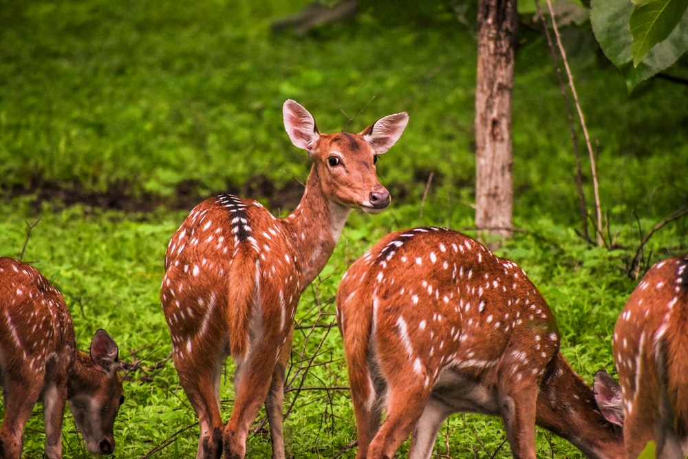 four brown and white deers