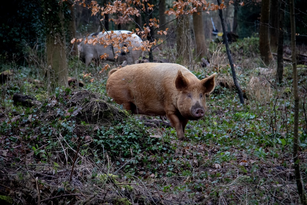two pigs in forest